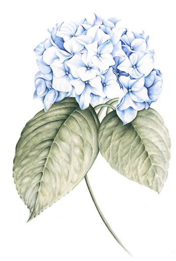 Hilary James - Blue Hydrangea""