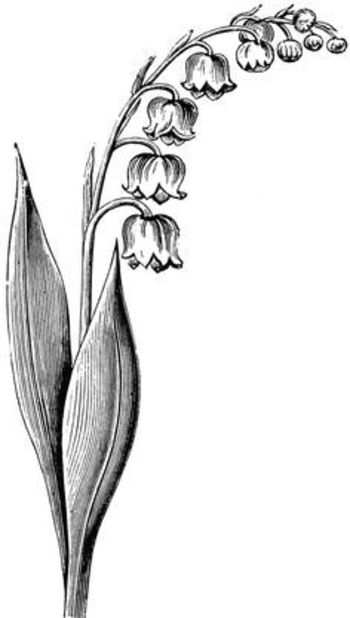 black and white drawing lily of the valley flower - Google Search
