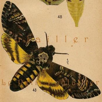 1906 Edwardian Engraved Chromolithograph, The Death's-Head Hawk Moth