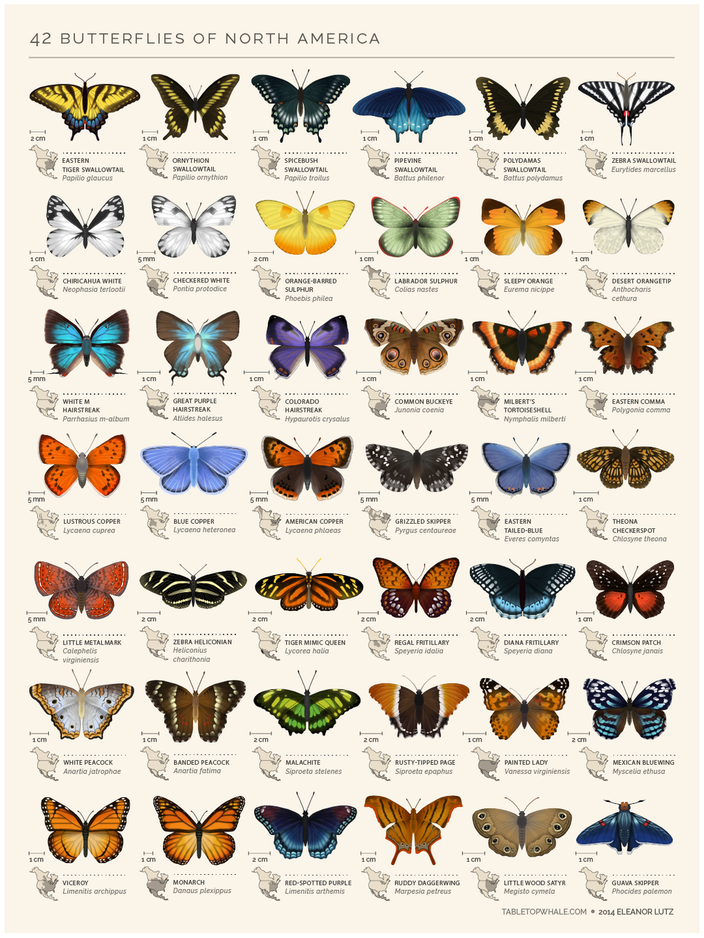 An animated chart of 42 north american butterflies from tabletopwhale com original