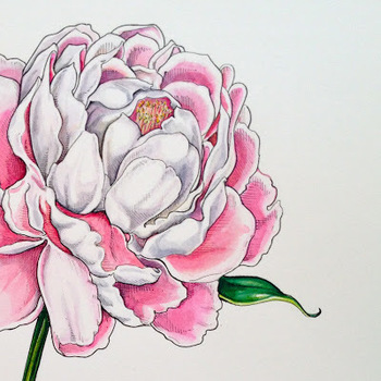 Peony - watercolour & ink illustration by