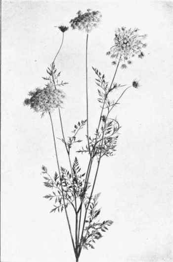 queen annes lace. I picked many bouquets of these for my Grandma. She never told me she was allergic