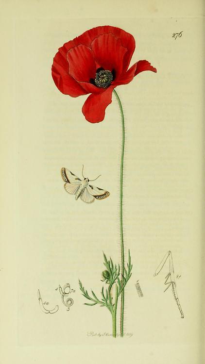 Acontia catena or acontia nitidula brixton beauty moth with a field poppy from british entomology b original