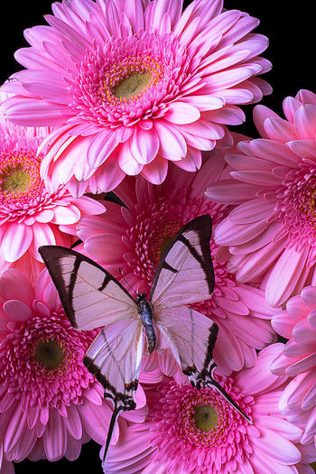 White Butterfly On Pink Gerbera Daisies.. could be a sweet idea for a tattoo :)