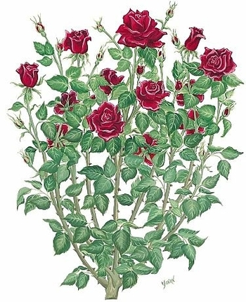 Rose bush drawing, tattoo inspiration. I see lots of single roses but I want the whole bush :)