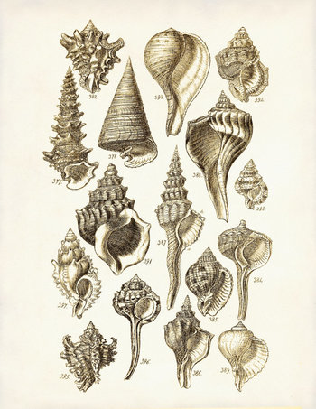 Art Print or Poster of Vintage Seashells 1 - George Sowerby Digital Illustration - Art Print - Beach House Decor - Giclee Print - Summer Art