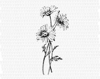 Antique Image Wild Daisies Flower Vintage Clip Art Illustrations Printable High Quality Digital Graphic 1397