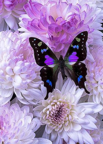 Black and purple butterfly on mums Greeting Card by Garry Gay
