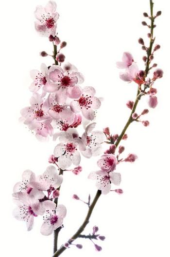 Cherry Blossoms - O'Reilly Digital Media Blog