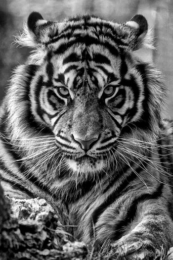 ♂ Wildlife photography Black & white Tiger King...so beautiful! @Chris Cote Lancaster this reminded m