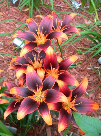 Lily 'Starlette' so pretty it doesn't even look real./ATTRACTS: RUBY THROATED HUMMINGBIRDS. Perfect p