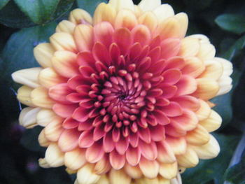 Chrysanthemum Graphics Code   Chrysanthemum Comments & Pictures