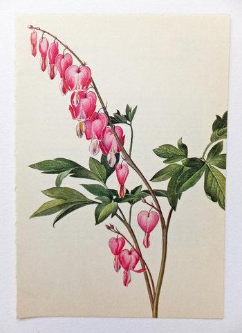 Bleeding Heart. Poppy Family. Vintage Flower Picture. Pink Flower. Botanical Print. Paper Goods, Hous