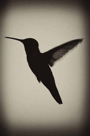humming bird silhouette / .Straylight. picture on VisualizeUs