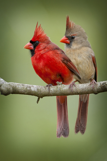 Mr. And Mrs. Northern Cardinal by Bonnie Barry