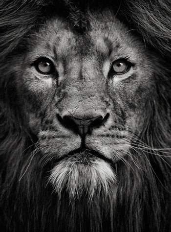 Portrait of a King by Mats Lilja #animalphotography #photography